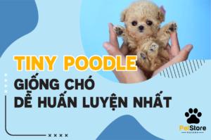 Tiny Poodle giống chó dễ huấn luyện nhất