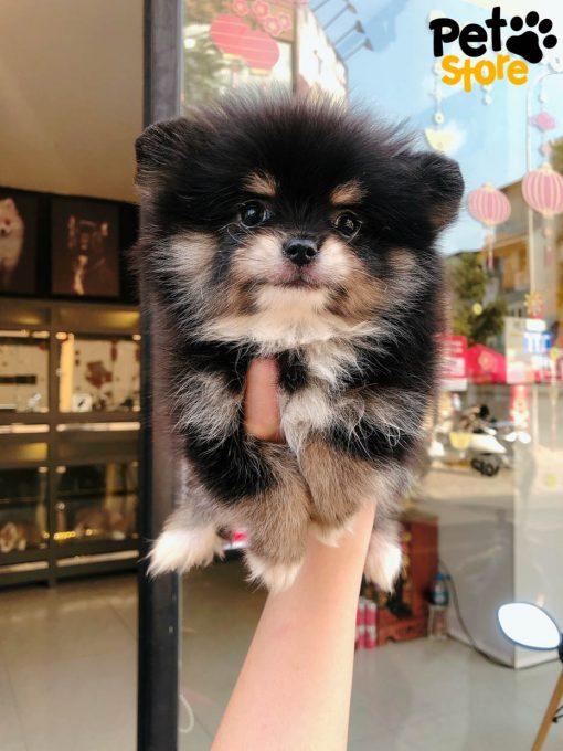 Chó Pomeranian Blacktan