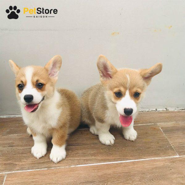 Corgi khỏe mạnh tại Pet Store 3