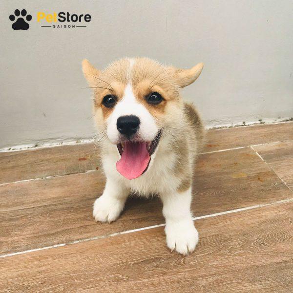 Corgi khỏe mạnh tại Pet Store 2