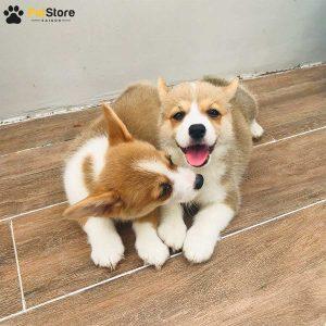 Corgi khỏe mạnh tại Pet Store 1