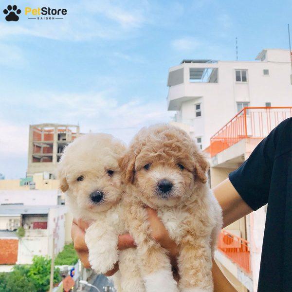 Poodle đáng yêu tại Pet Store 6