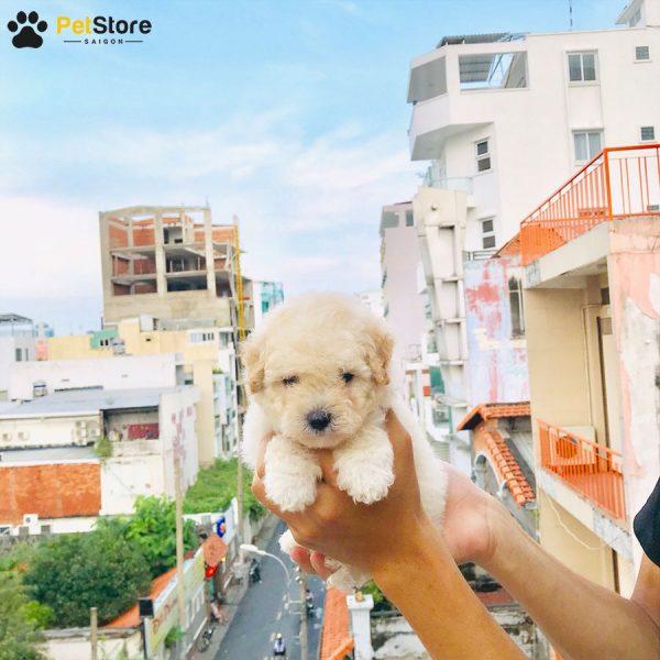 Poodle đáng yêu tại Pet Store 5
