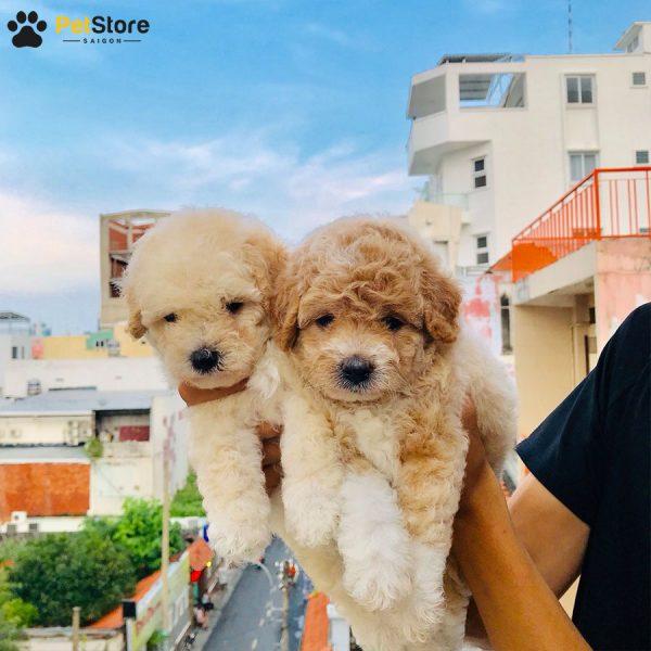 Poodle đáng yêu tại Pet Store 4