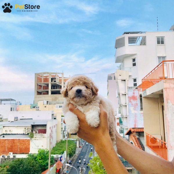Poodle đáng yêu tại Pet Store 3
