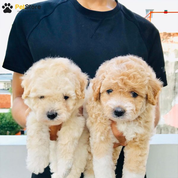 Poodle đáng yêu tại Pet Store 2