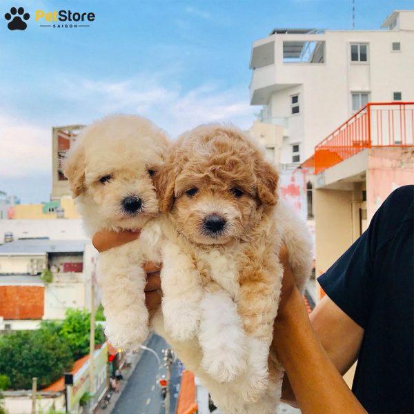 Poodle đáng yêu tại Pet Store 1