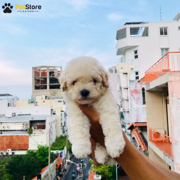 Poodle đáng yêu tại Pet Store 7