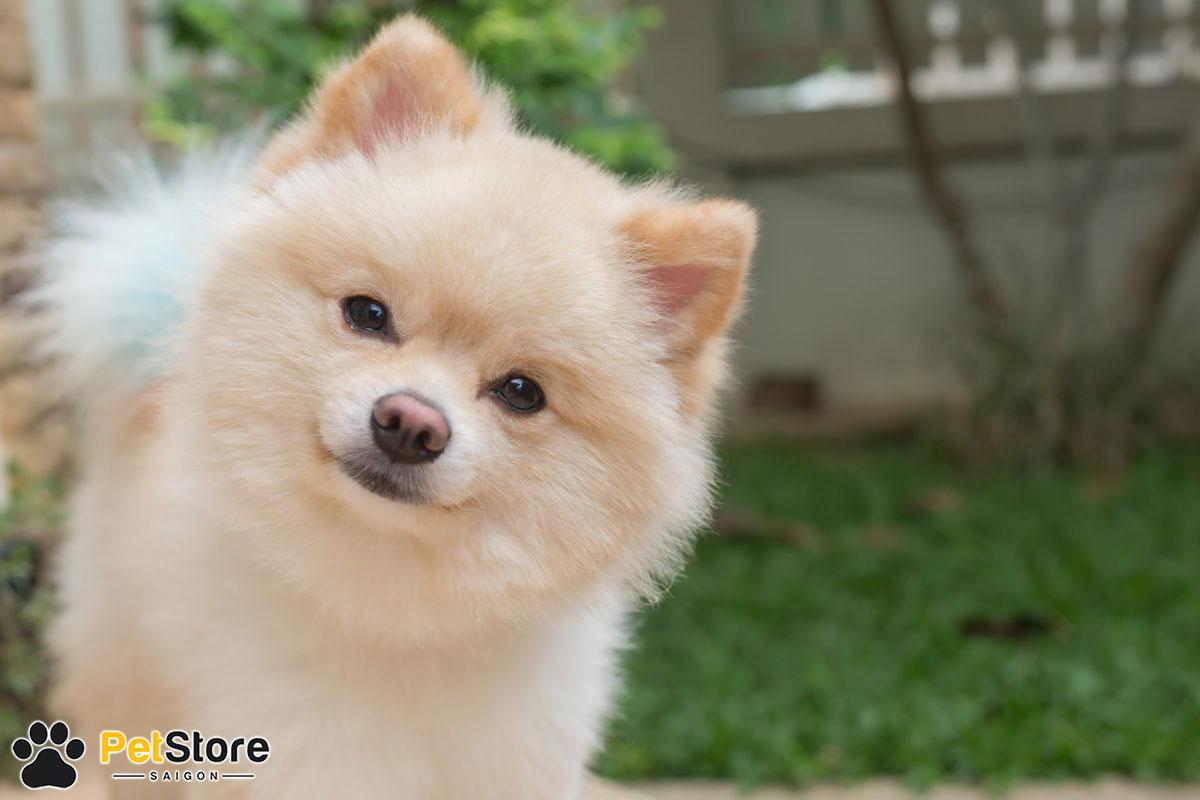 Chó Pom đáng yêu tại Pet Store