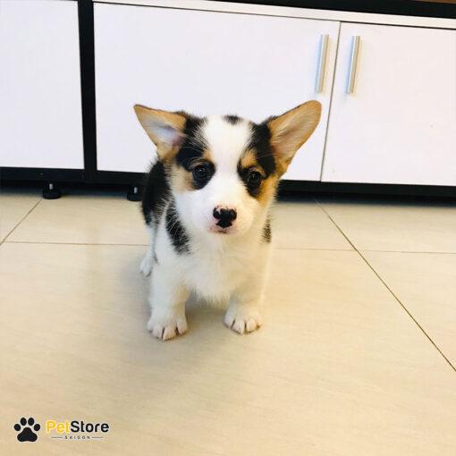 Chó Corgi tại Pet Store