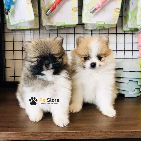 Phốc sóc tại Pet Store