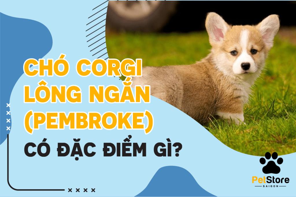 Chó Corgi lông ngắn Pembroke