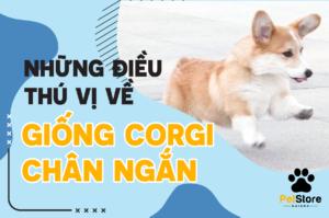 Những điều thú vị về chó Corgi chân ngắn