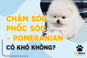 Chăm sóc chó Phốc Sóc - Pomeranian có khó không?
