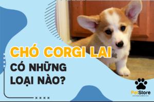 Chó Corgi lai