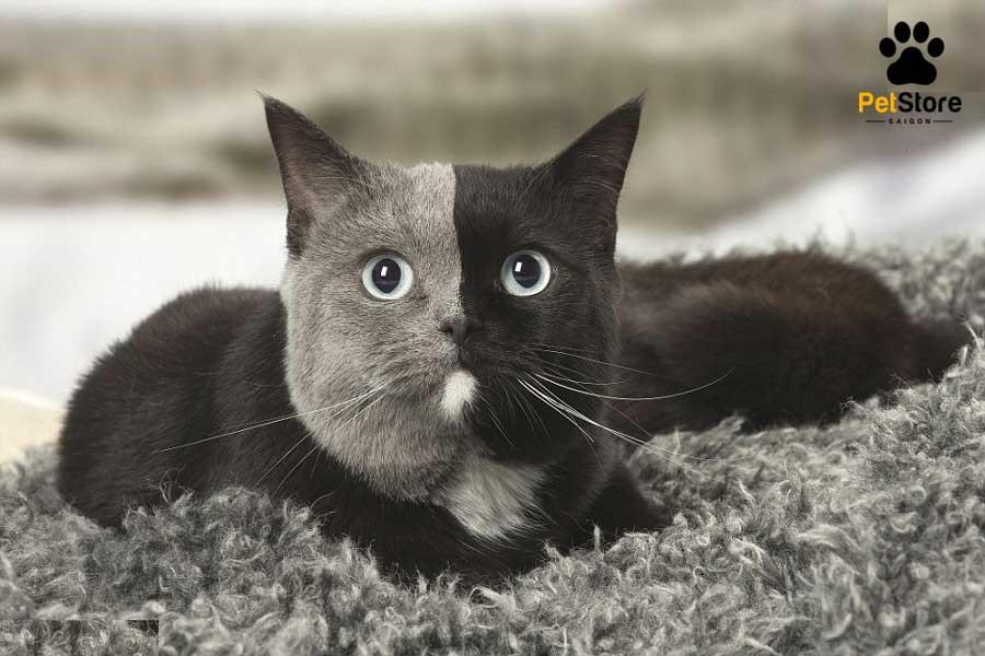 Nguyên tắc để phối giống mèo Anh lông ngắn thành công