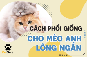 Cách phối giống mèo Anh lông ngắn