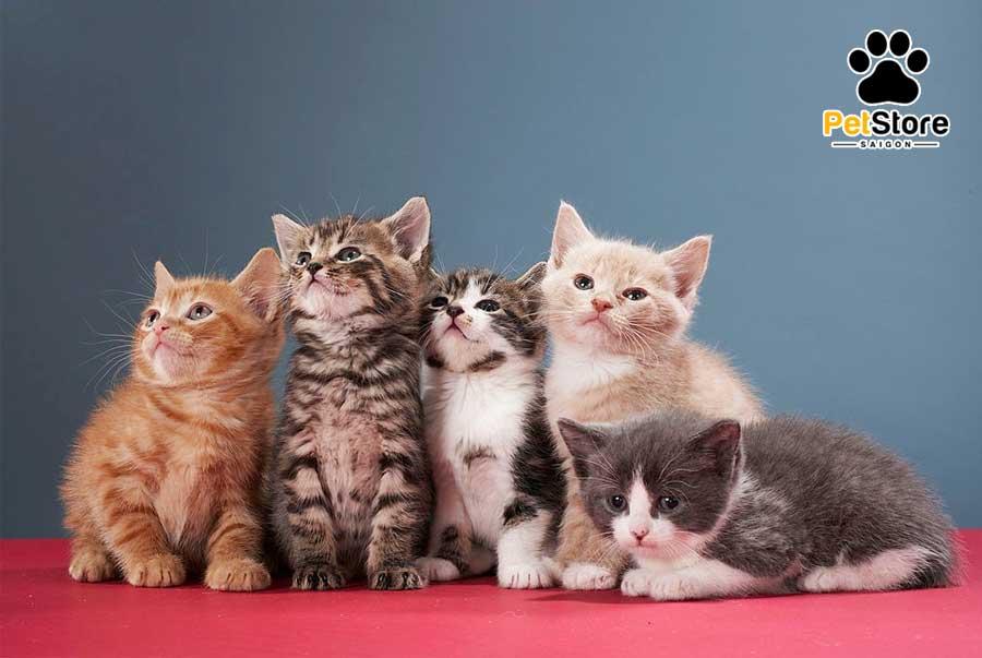 Phối giống mèo Anh để cho ra mèo con nhiều màu