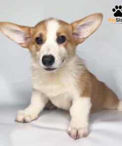 Chó Corgi Pembroke