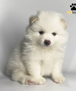 Chó Phốc Sóc xinh xắn tại Pet Store Sài Gòn