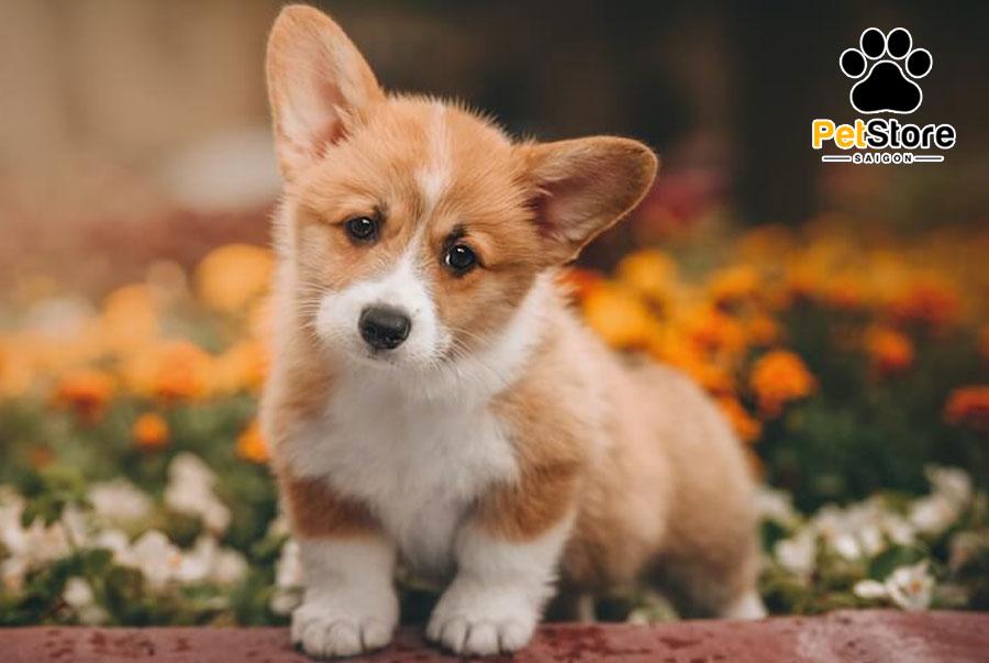 Việc phân chia Corgi giúp bạn dễ dàng chọn nuôi cún cưng ưng ý