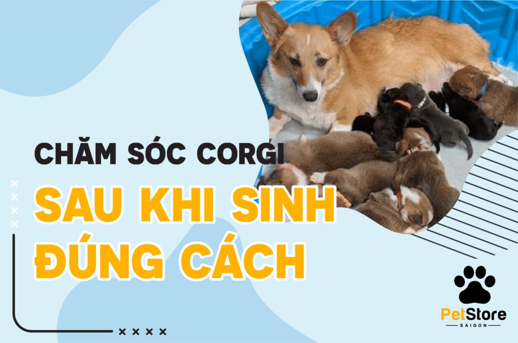 Chăm sóc Corgi sinh sản đúng cách