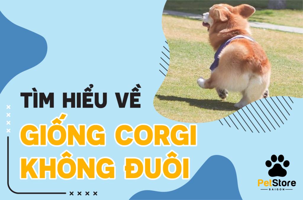Tìm hiểu về giống chó Corgi không đuôi
