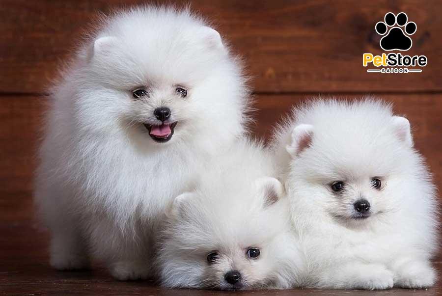 Chó Pomeranian có vẻ ngoài đáng yêu, lanh lợi.