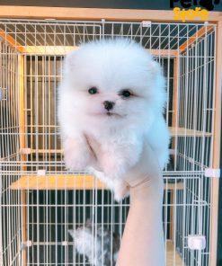 Chó Pom Trắng