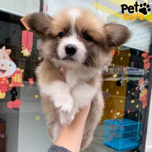 Chó Corgi Fluffy