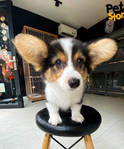 Chó Corgi Fluffy Tricolor