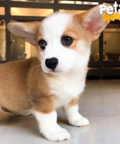 Chó Corgi