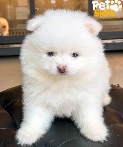 Chó Phốc Sóc