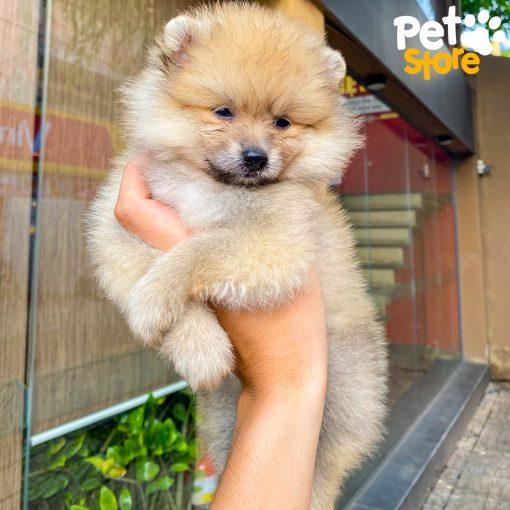 pomeranian-pet-store