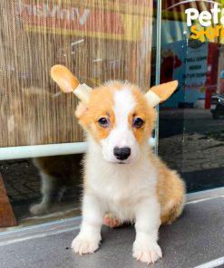 corgi-pembroke-pet-store